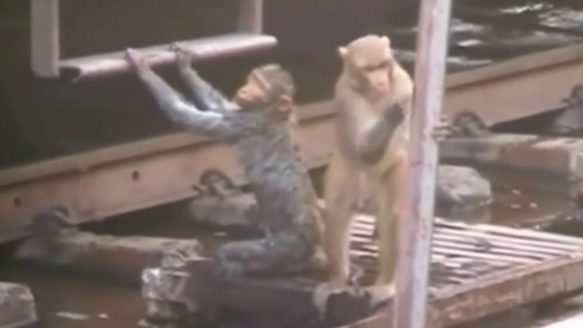 monkey-saves-5