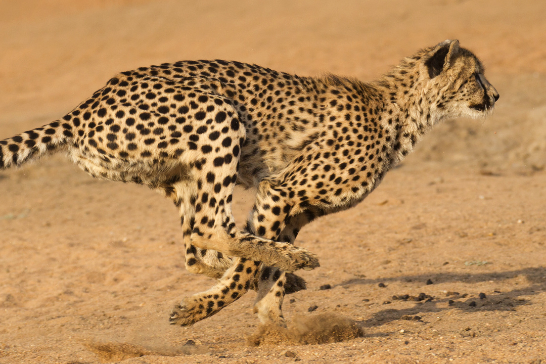 How fast can a cheetah run?