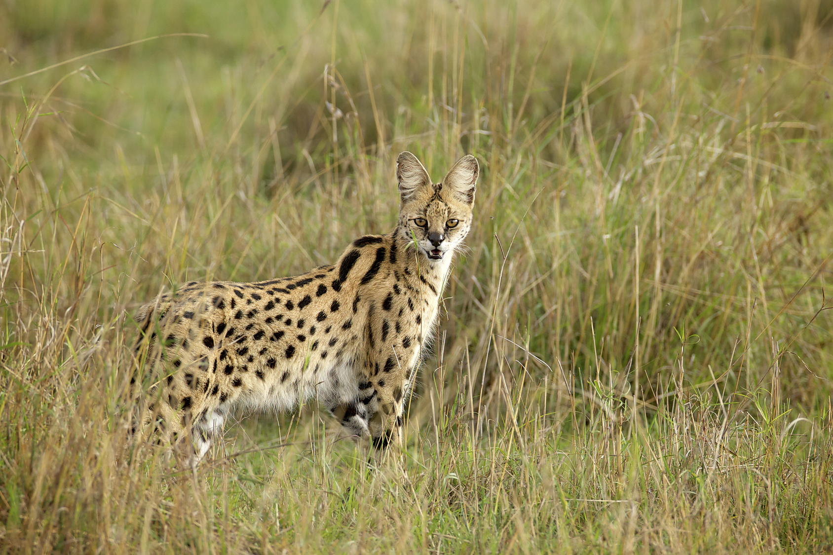 15 Things You Need to Know If You Want to Own a Serval Cat ...