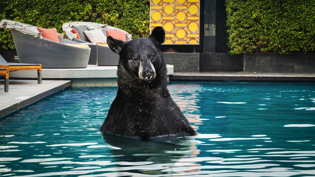 Mother Black Bear And Cubs Take A Dip In A Swimming Pool