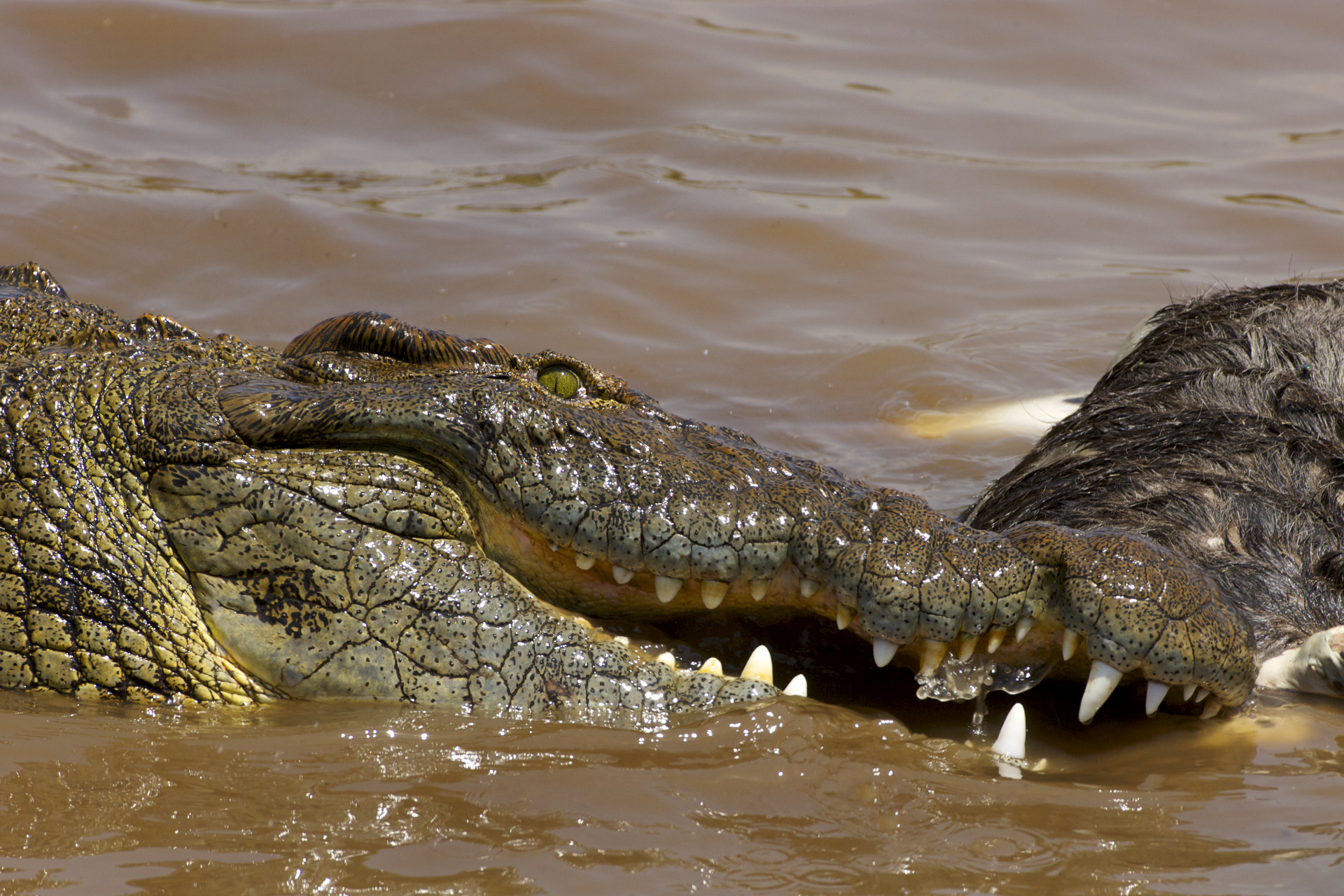 the nile crocodile A nile crocodile is seen on march 26, 2014 at the park 'la planete des crocodiles'  in civaux, near the french western city of poitiers.