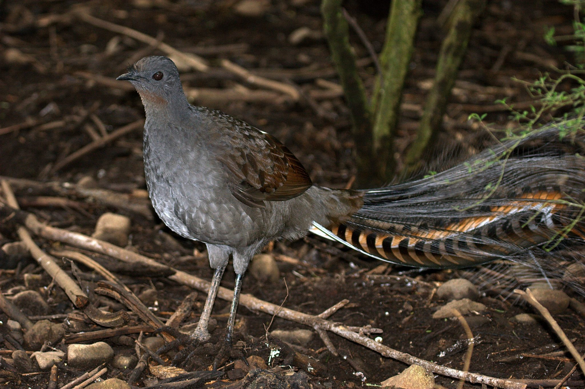 Attenborough: the amazing Lyre Bird sings like a chainsaw! Now in ...