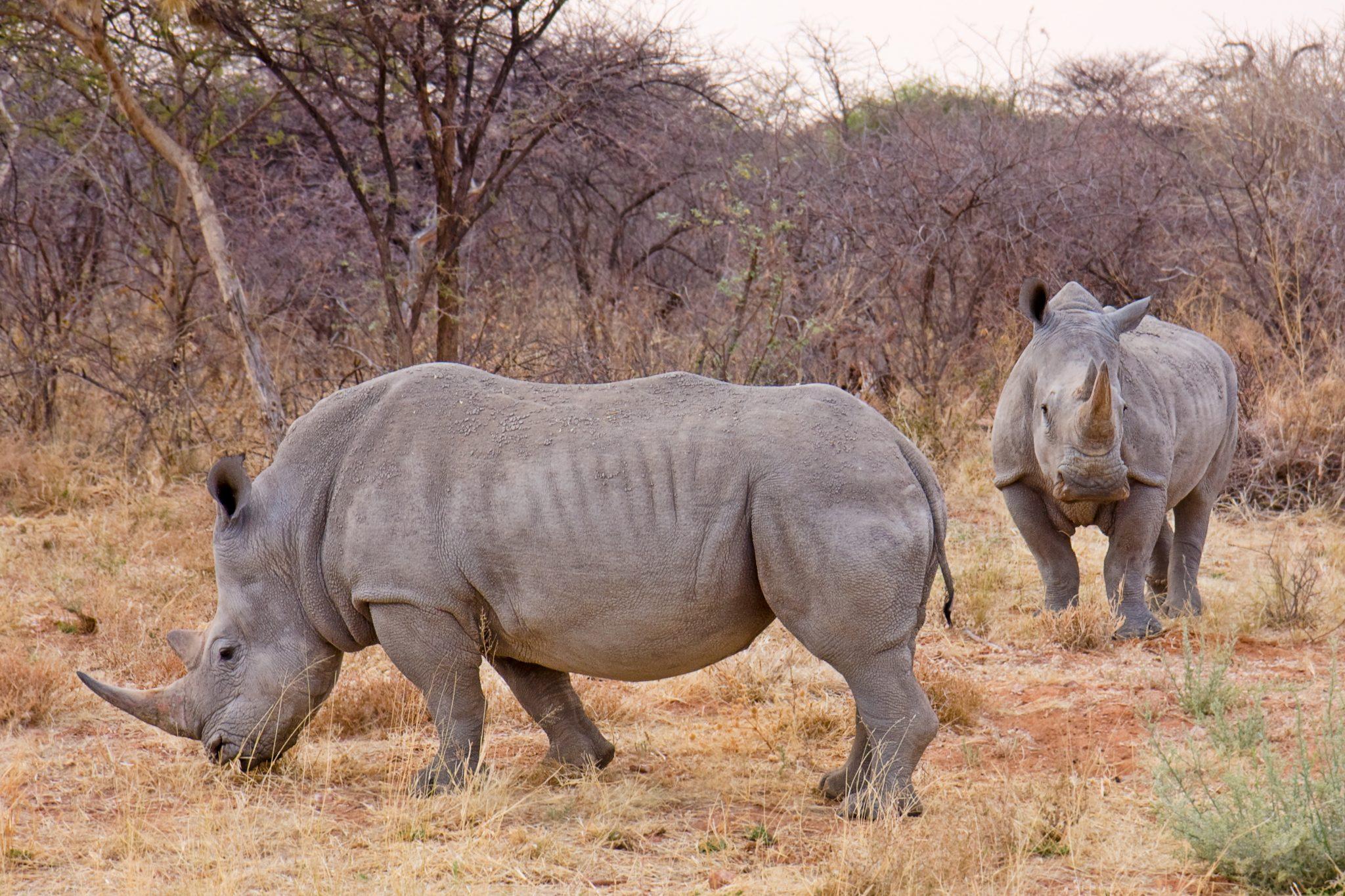 White rhinos in Namibia. Photo by Ikiwaner.