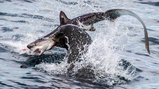 we must save the great white shark The great white shark is an endangered animal while it may not be the best-looking or cuddliest creature, no one wants to live in a world without them there are numerous things you can do to help the great white sharks.