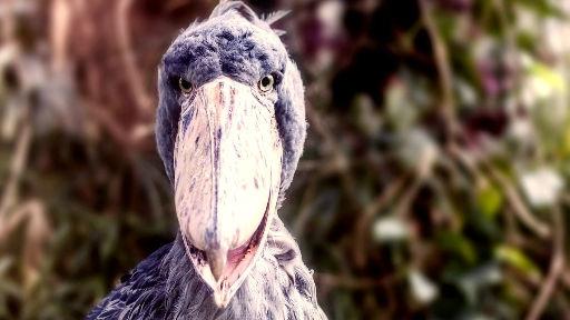 shoebill 2