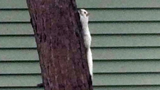 Lack of pigmentation giving the squirrel a snowy white appearance