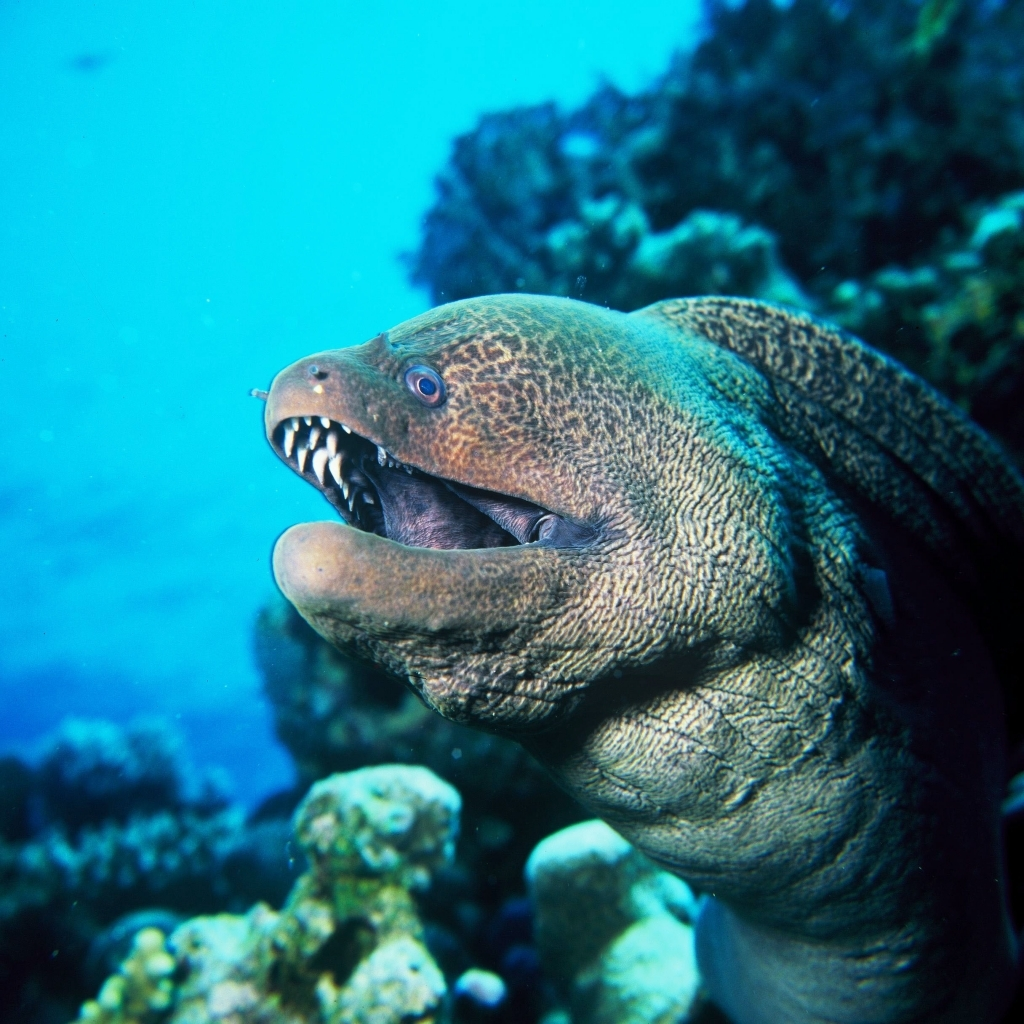 Giant Moray Eel vs Venomous Stonefish