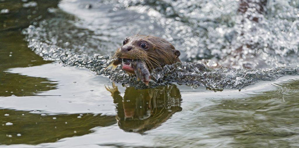 Giant River Otter - Photo by Tambako The Jaguar
