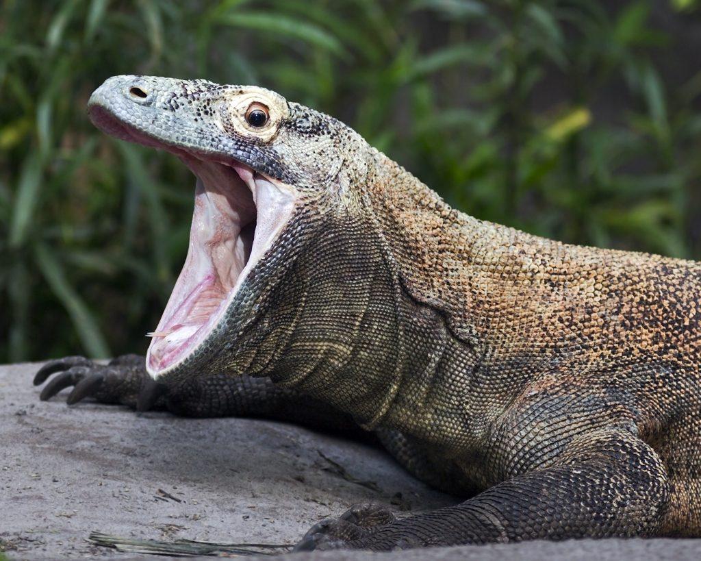 Komodo Dragon: Could We Genetically Engineer Dragons?
