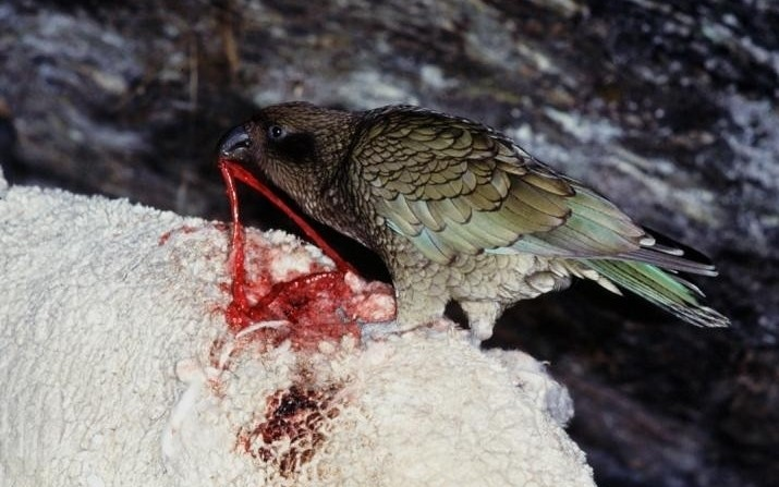 Kea – The Vampire Parrot | Roaring Earth Real Ocean Trenches