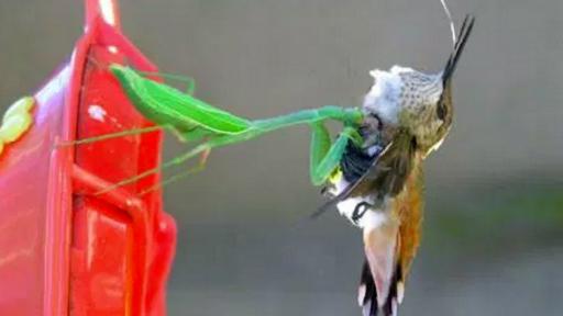 Asian praying mantis, humming birds