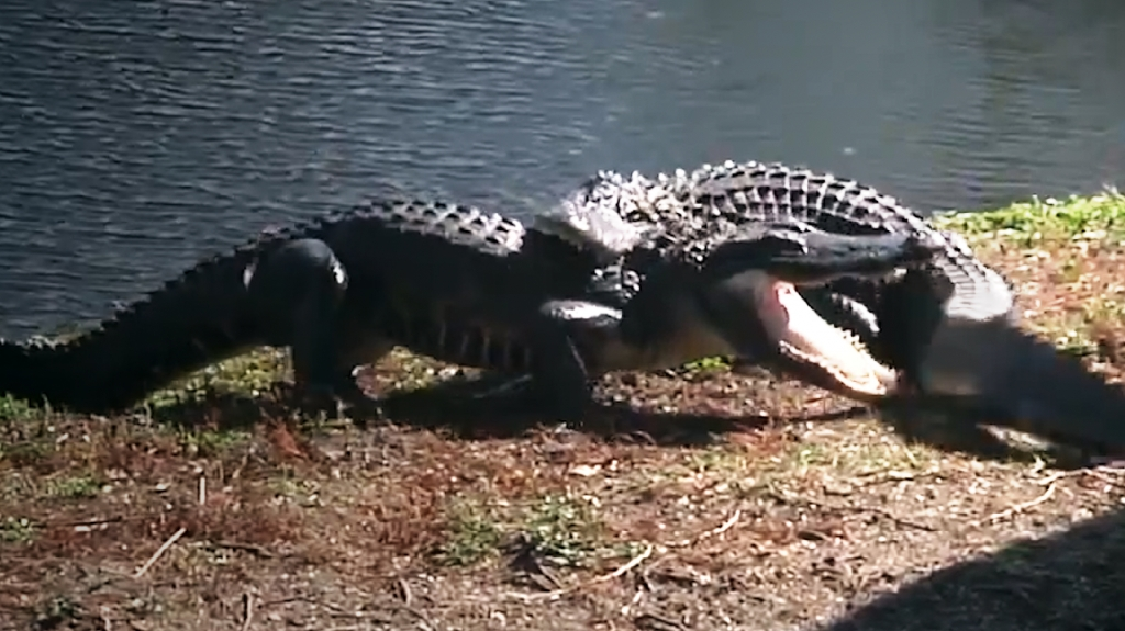 crocfight3