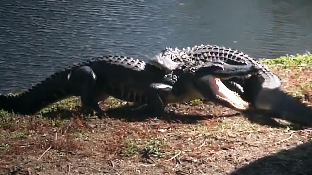 crocfight3