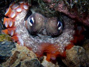 Gloomy_Octopus-Octopus_tetricus
