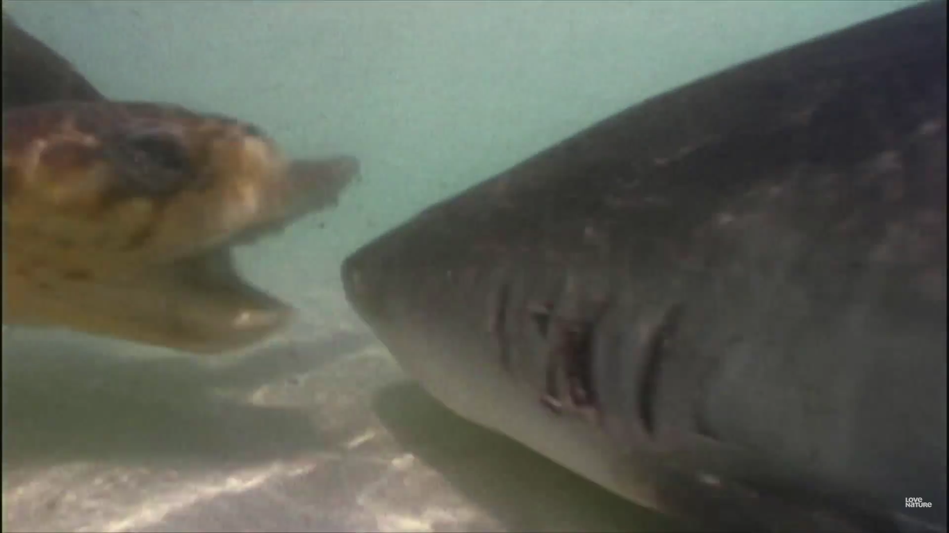 Intelligent Tactics Used by Tiger Sharks Hunting Sea ... |Tiger Sharks Attack Turtle