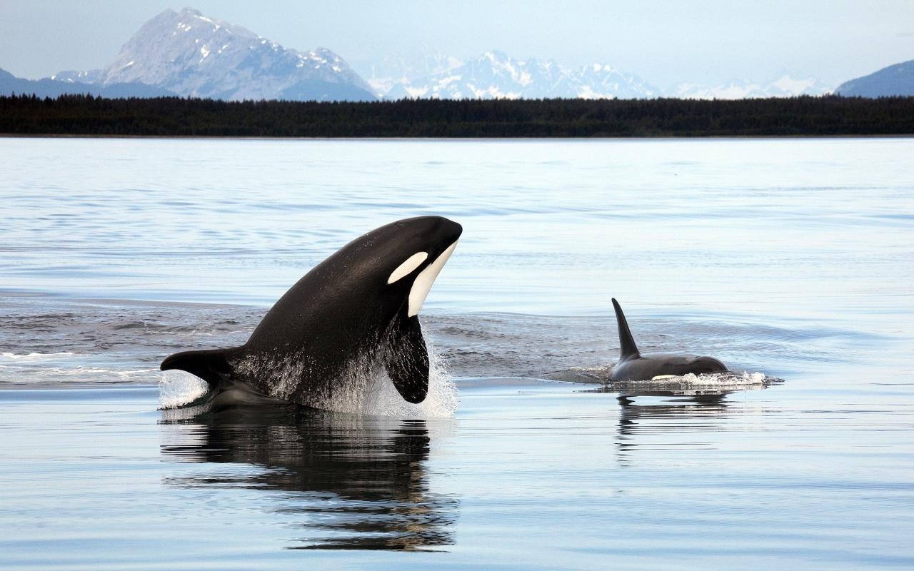 Orcas in Alaska - Photo by Christopher Michel