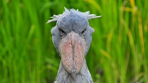 Don't forget to duck: Giant Shoebill picks up feathered friend ...