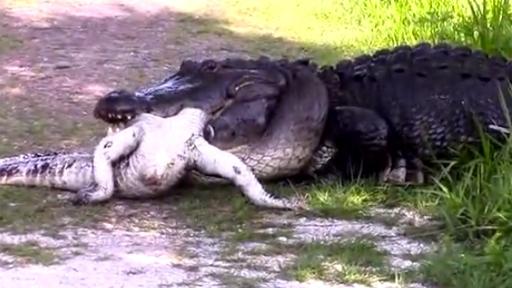 alligator resized 1