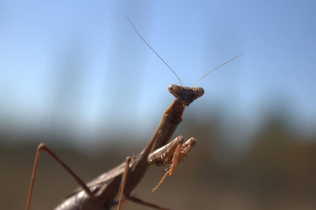Praying Mantis Eats Ge...