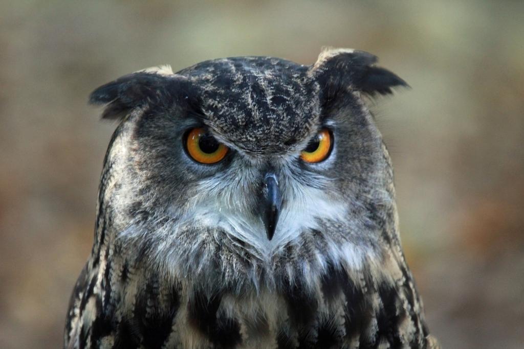 Aninimal Book: Owls Attack Eagles