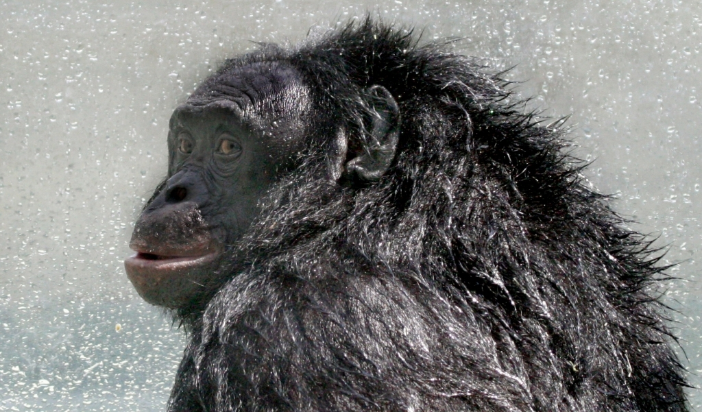 Bonobo_Kanzi_postshower_2005-07-23_GATI_330crop_(2014_11_14_01_04_18_UTC)