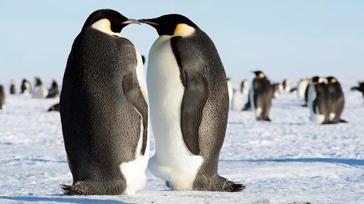 emperor-penguins-2