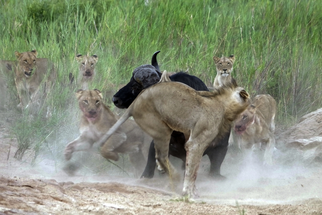 caters_buffalo_impales_lion_01