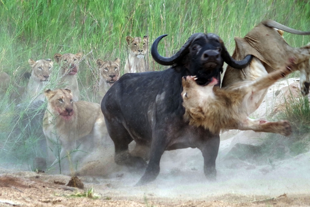 caters_buffalo_impales_lion_02
