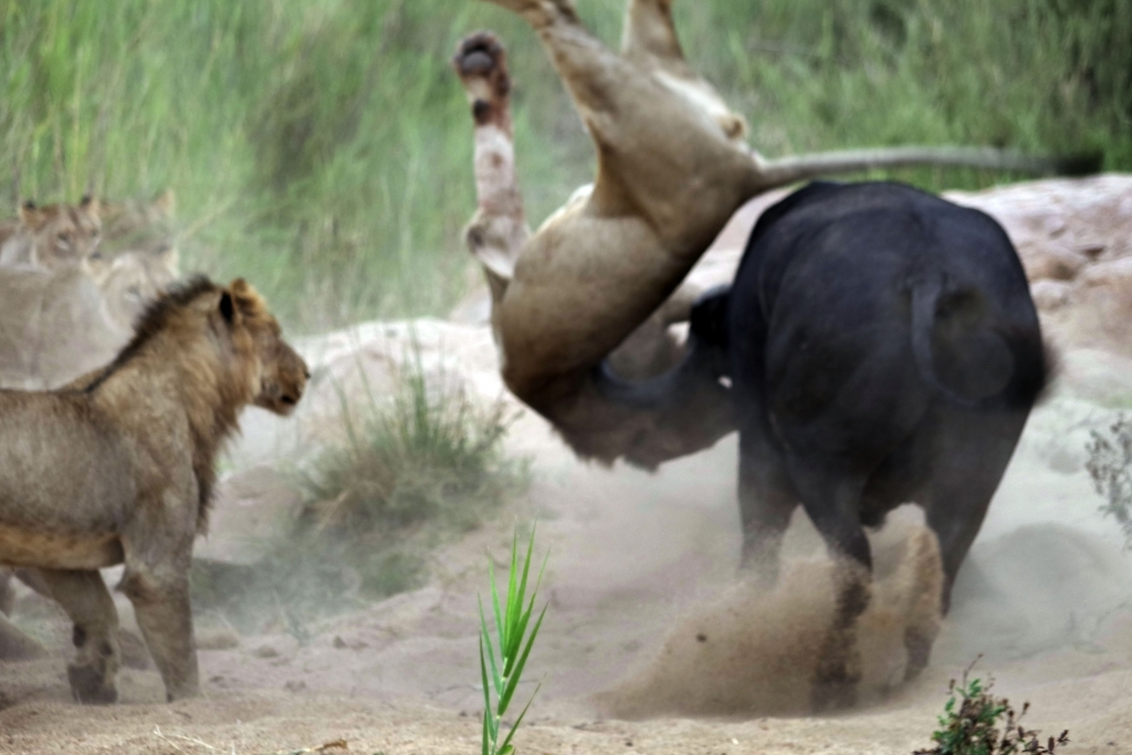 caters_buffalo_impales_lion_03