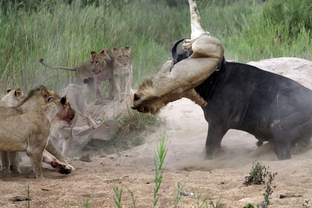 caters_buffalo_impales_lion_04