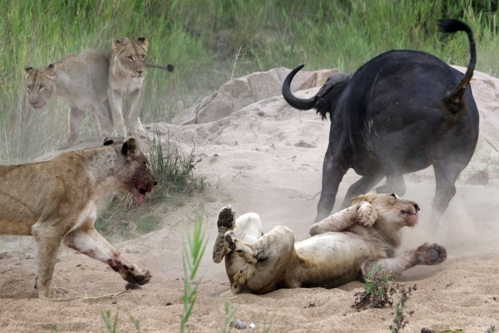 caters_buffalo_impales_lion_05