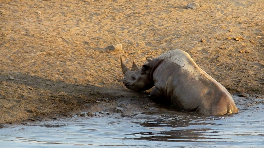 caters_rhino_escapes_lions_watering_hole_01