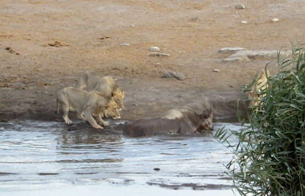 caters_rhino_escapes_lions_watering_hole_03