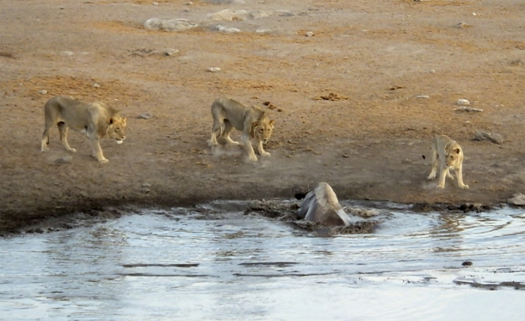 caters_rhino_escapes_lions_watering_hole_06