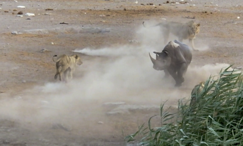 caters_rhino_escapes_lions_watering_hole_07