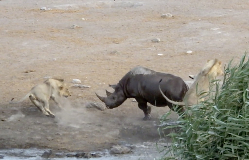 caters_rhino_escapes_lions_watering_hole_08