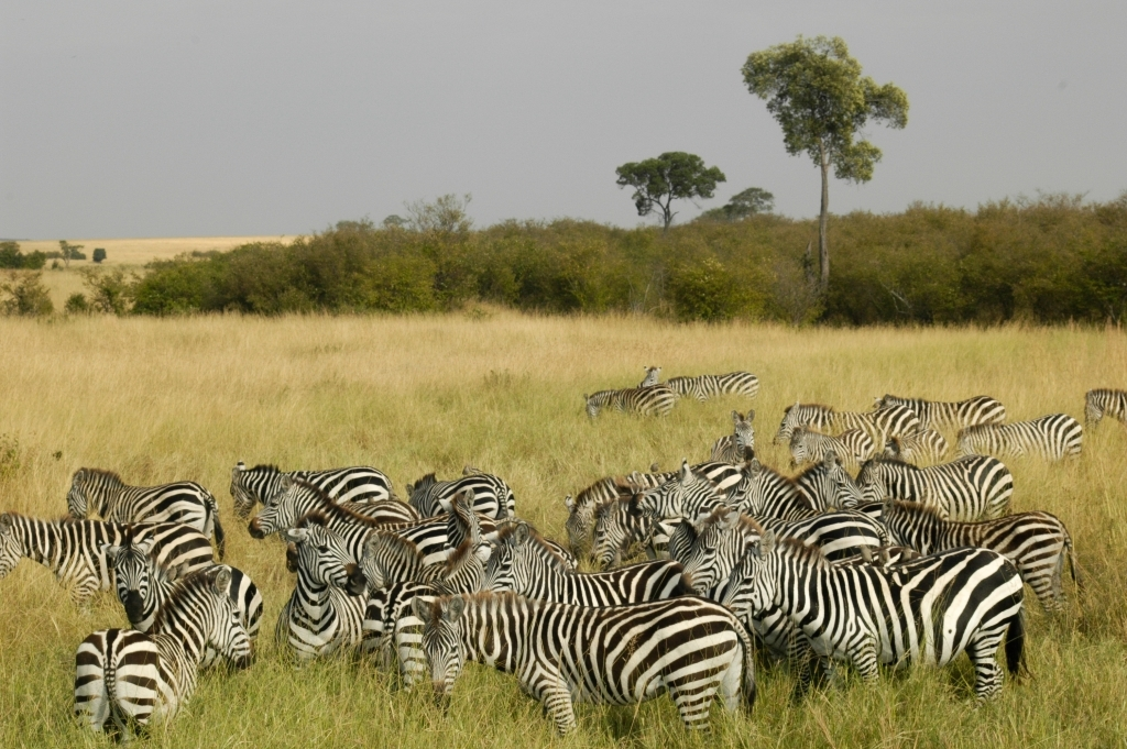 common_zebra_at_masai_mara_kenya_01