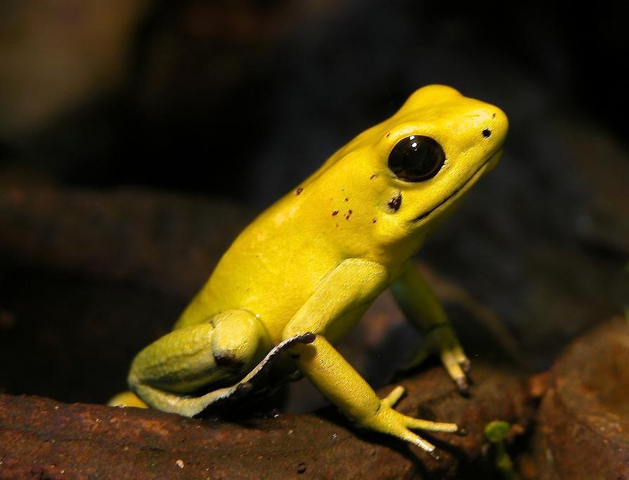 golden-poison-dart-frog-photo-by-wilfried-berns