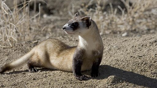 black-footed-ferret-featured