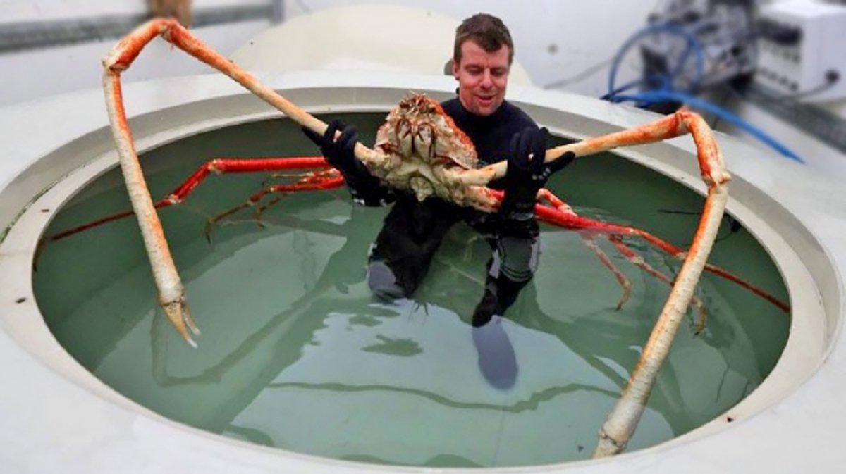 Japanese spider crab attack