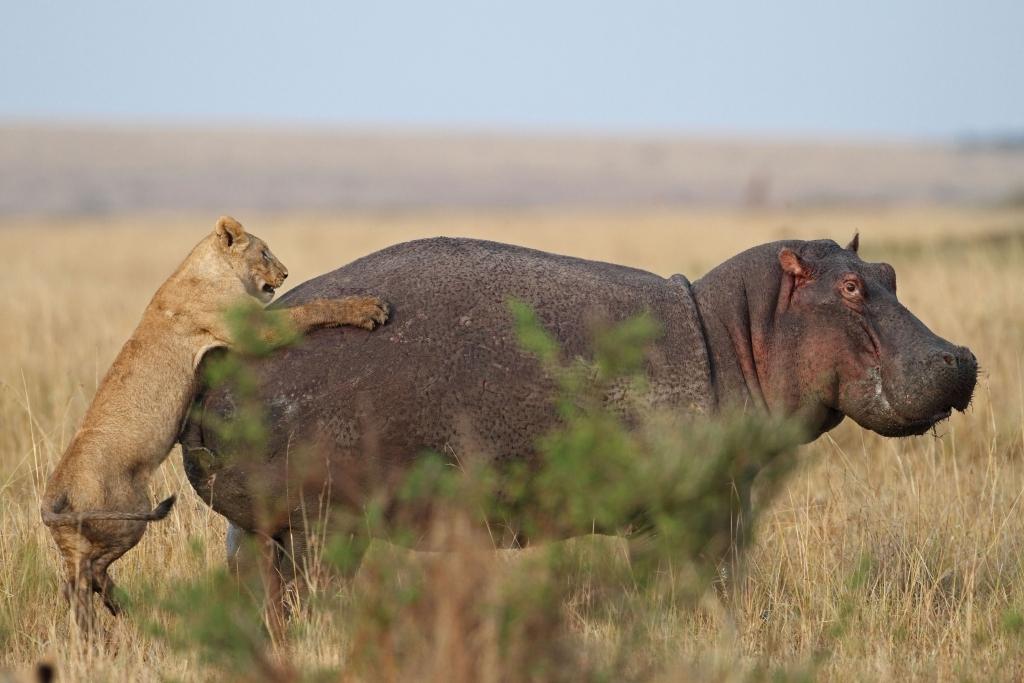 Lion Sneaks Up On Hippo, Regrets It Immediately