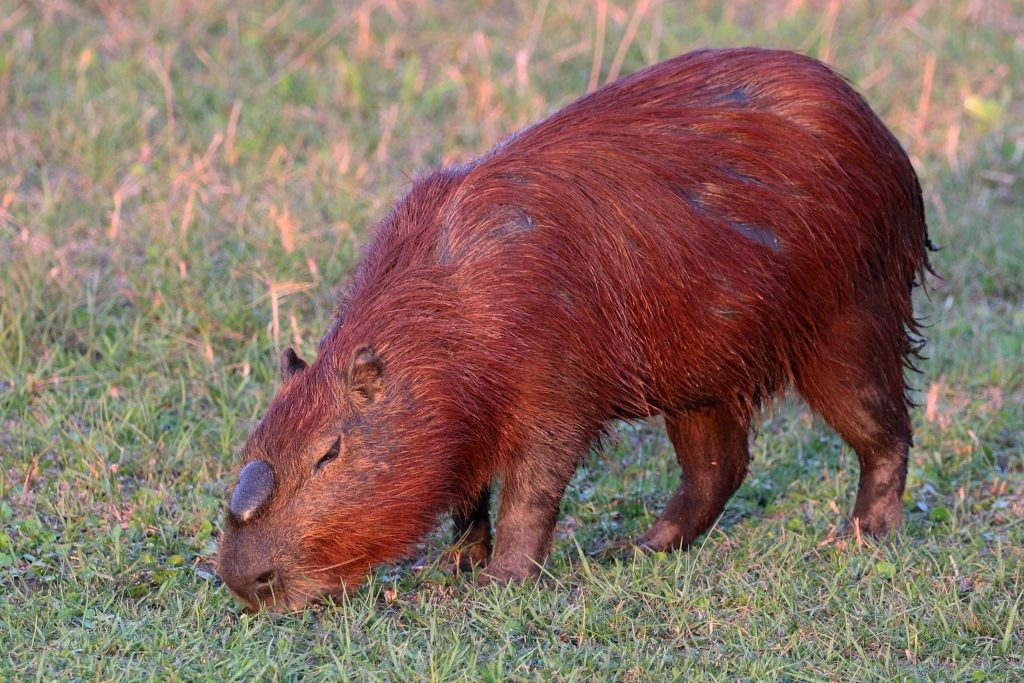 Capybara (Hydrochoerus hydrochaeris). Photo by Charlesjsharp.