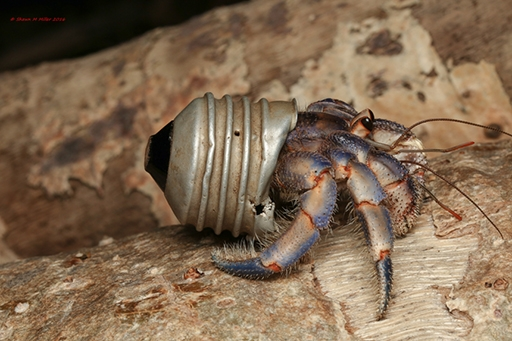 One Man S Trash Is A Hermit Crab S Home Roaring Earth