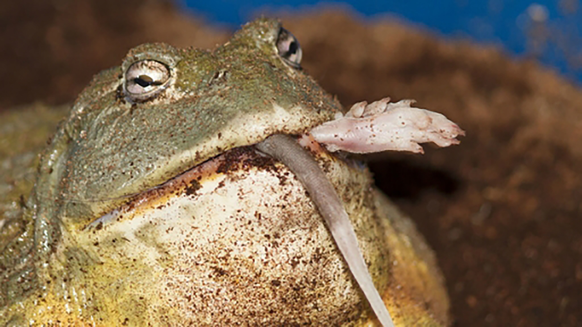 bullfrogs eat everything from scorpions to other frogs
