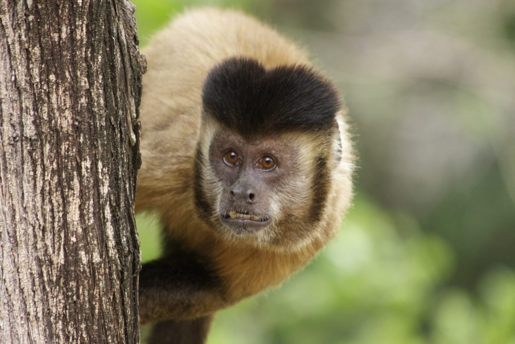 Black-striped (bearded) capuchin monkey. Photo by Tiago Falótico.