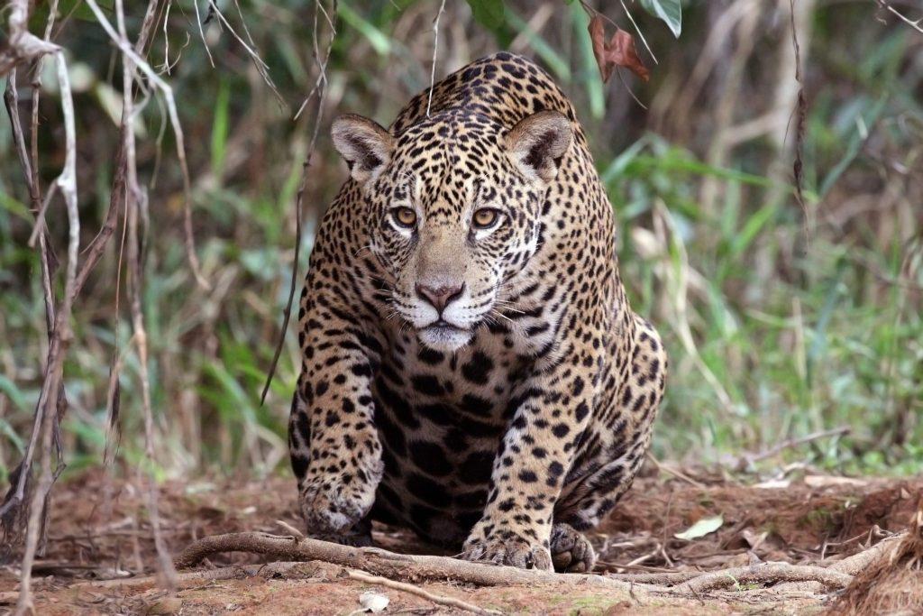 Jaguar female. Photo by Charles Sharp Photography.