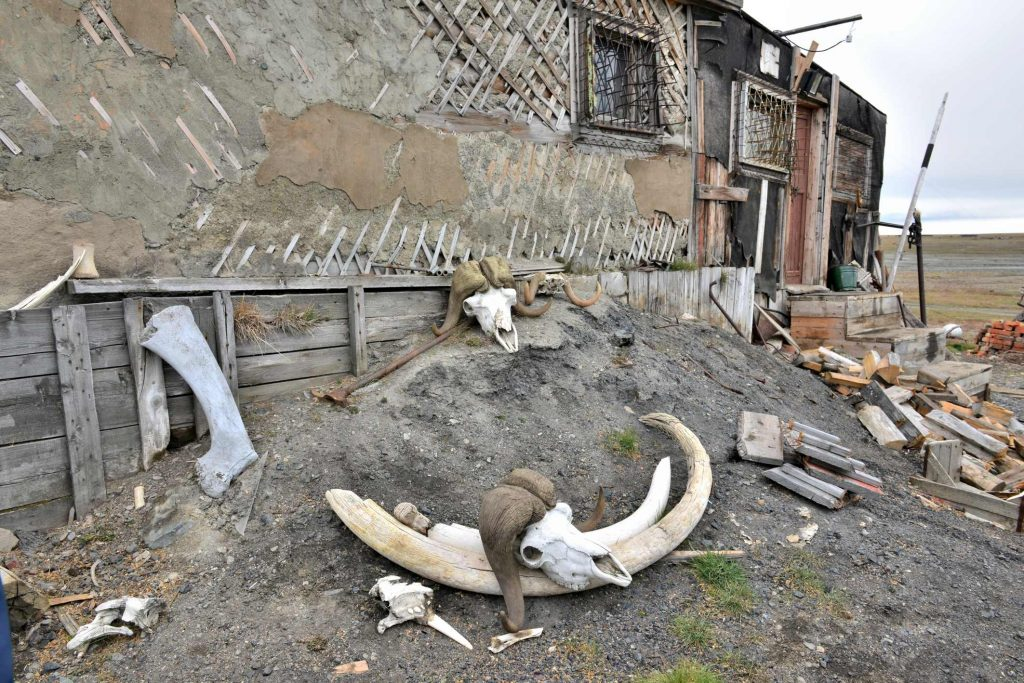 Woolly mammoth and musk ox remains on Wrangel Island. Photo by Ansgar Walk.