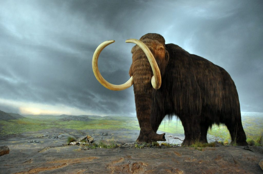 Woolly mammoth. Photo by Flying Puffin.