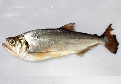 Can you identify this fish?