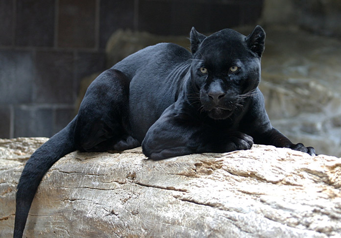 Black panthers are a separate species of big cats. True or False?